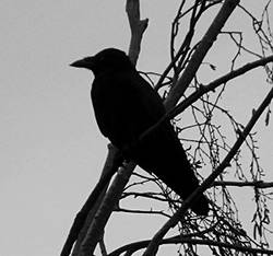 raven by Duncan Brown (Cradlehall), on Flickr