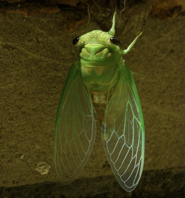 Cicada by amboo who?, on Flickr